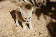 Fennec Fox Kits | Taronga