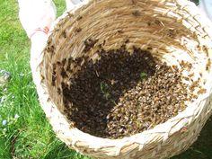 fresh swarm in a skep