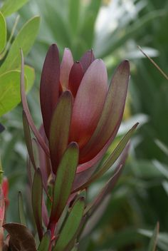 Garden Flowers - Annuals Or Perennials My Favorite Flower - Leucadendron 'Safari Sunset' - A Must Burgundy Flowers, Red Flowers, Red Roses, Beautiful Flowers, Christmas Arrangements, Floral Arrangements, Protea Flower, Australian Native Flowers, Trees To Plant