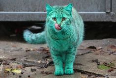 Move Over Grumpy Cat. There's A New Feline In Town The Green Cat of Bulgaria! it was recently discovered that the cat has turned this color due to sleeping on an abandoned pile of synthetic green paint inside of a garage located in the city.