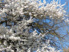 ...weiße Frühlingspracht