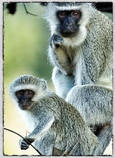 Vervet monkeys, the naughtiest creatures, but I love them. We get them in our garden, and stealing fruit and bread from the kitchen if we aren't fast enough