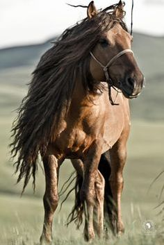 "Steppe horse--""Most of us have never experienced horses like this: they are semi wild and live in big herds. Small and tough, most of the horses we rode were geldings whose manes and tails are cut to make rope. But a stallions mane is never cut"""