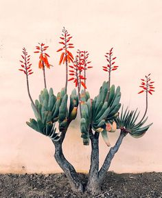 Outdoor Design Inspiration from Ojai Fan Aloe (plicatilis) at Jungalow Agaves, Cactus Y Suculentas, Cacti And Succulents, Weekend Is Over, Garden Inspiration, Design Inspiration, Houseplants, Mother Nature, Nature Nature