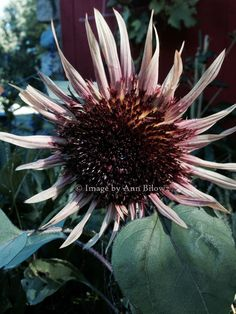 August to do list - don't let the Sunflower fool you. What to buy in the month of August. Plus #garden tips all in today's post. http://blog.bilowzassociates.com/2014/08/august-must-dos.html