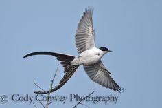 Fork-tailed Flycatcher (Tyrannus savana savana)   Flickr - Photo Sharing!