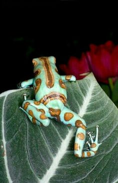 Which frog is this? Such an unusual colour and pattern pairing. It looks like it could be made in glazed ceramic.