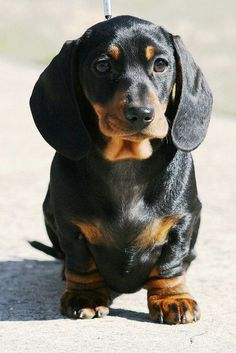 Look at the huge paws! Dachshunds are so cute, especially puppies...