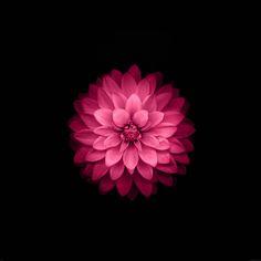 papers.co-ad40-apple-red-lotus-iphone6-plus-ios8-flower-9-wallpaper.jpg 2,524×2,524 pixels