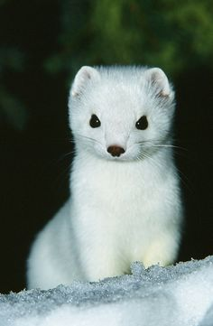 llbwwb:  Close up Of Pure White Ermine In The Snow (by AlaskaFreezeFrame)