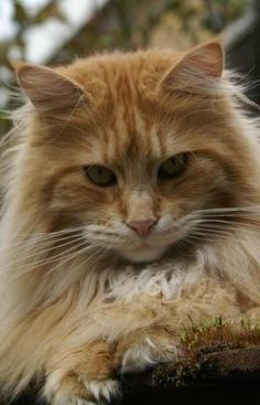 Are Maine Coon cats aggressive? Maine Coon cats are not naturally aggressive. However, as gentle as a Maine Coon is, it can become aggressive if it is provoked. Kittens Cutest, Cute Cats, Cats And Kittens, Tabby Cats, Funny Cats, Ragdoll Kittens, Bengal Cats, White Kittens, Siamese Cats