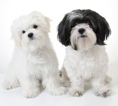 #photographer #photography #modesto #shihtzu #maltese #designerdog #dog #puppy #cute #cutie #precious #fluffy #dogs #pet #pets #turlock #california #dogphotography #dogphotographer #petphotography #petphotographer
