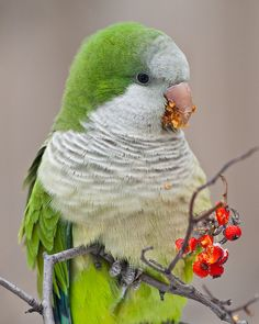 Monk parakeet (Quaker Parakeet) Our town here in Texas is full of these beautiful birds. Kinds Of Birds, All Birds, Cute Birds, Pretty Birds, Beautiful Birds, Animals Beautiful, Tropical Birds, Exotic Birds, Colorful Birds