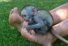 Vervet Monkey Baby Monkey Puppet, Types Of Monkeys, Garden Sculpture, Monkey Baby, Pictures, Content, Animals, Baby Boy Monkey, Photos