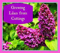 Estle Schipp Farm : Growing Lilacs from Cuttings