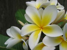 white flower / Plumeria alba / West Indian Jasmine by kamikadse, via Flickr