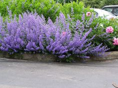Nepeta faassenii 'Six Hills Giant' Six Hills Giant Catmint from E.C. Brown's Nursery