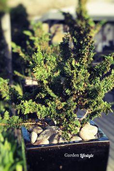 Japanin sypressi on talvehtinut ruukussa