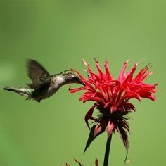 Want to attract hummingbirds to your garden? Then add Monarda, commonly called Bee Balm. Monarda brings a lot of charm and interest to any garden and when planted in mass creates a high-traffic area for pollinators including butterflies, hummingbirds, and bees. Homemade Tea, Natural Ecosystem, Downers Grove, How To Attract Hummingbirds, Hardy Perennials, Medicinal Herbs, Beautiful Flowers, The Balm, Landscape