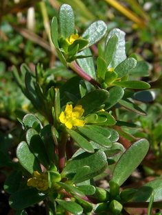 Purslane - this weed is all over my garden... maybe I've finally found my revenge?