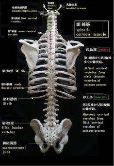 解剖学「骨格系」 - 解剖学ノート