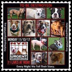 TO BE DESTROYED 11/13/17 - - Info   To rescue a Death Row Dog, Please read this:http://information.urgentpodr.org/adoption-info-and-list-of-rescues/  To view the full album, please click here:http://nycdogs.urgentpodr.org/tbd-dogs-page/ -  Click for info & Current Status: http://nycdogs.urgentpodr.org/to-be-destroyed-4915/