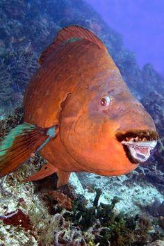 Rainbow Parrotfish - Endangered Animal - Near Threatened Endangered Fish, Endangered Species, Underwater Animals, Underwater Life, Marine Aquarium, Aquarium Fish, Beautiful Creatures, Animals Beautiful, Beautiful Fish