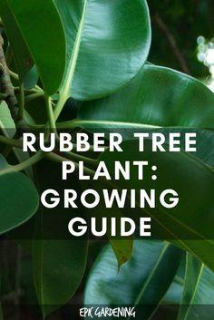 Rubber Tree Plant (Ficus Elastica) Care