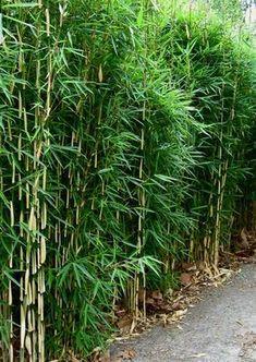 Bambus Pflanzenshop Bambus Als Gruner Sichtschutz Ideas For