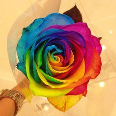single rainbow rose - Google Search