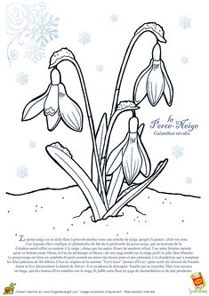 Coloriage edelweiss sur ernob l obr zky pinterest - Coloriage fleur edelweiss ...
