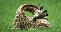 This Is How Giraffes Sleep (12+ pics)   Bored Panda