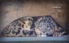 Snow Leopard - Rarity Unveiled (Only in Pakistan)