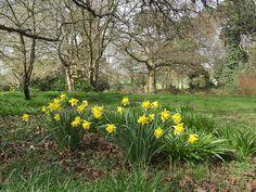 Back garden daffodils