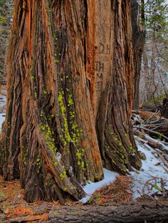 Ateas Cedar tree