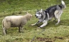 Does your dog have a playmate? Well the Husky in the video below has a lamb for a playmate! The Husky's name is Hice! Hice has a lamb friend who just loves to play! It's a one-of-a-kind friendship! Watch the …