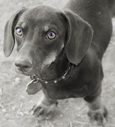 Roxy - my daschund