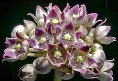 Calotropis procera, Milkweed Tree, Crown Flower, 10 seeds, butterfly magnet, fragrant lilac blooms, zones 9 to 11, USA grown, Monarch host