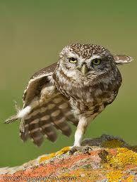 Owl doing Tai Chi. Right Side Kick