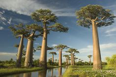 The Baobabs are some of the largest and most attractive trees in the world, some 50m in height. They are truly magical trees. The Avenue of the Baobabs is located in Madagascar, close to the town of  Morondava.