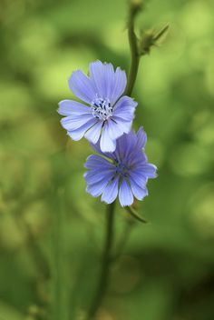 Wild Chicory - by Bernie Kasper Favorite lavender color Bach Flowers, Wedding Flowers, Flowers Nature, Wild Flowers, Elixir Floral, Blossom Garden, Plant Identification, Blue Garden, Flower Fairies