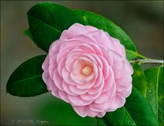 Pink camellia, photography by Phillip Hodgkins