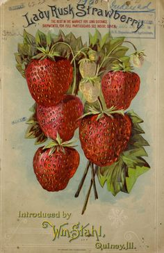 Front cover illustration of 'Lady Rusk Strawberry' - Introduced by Wm. Stahl…