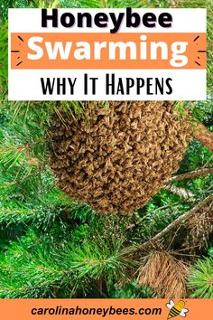 The honey bee swarm. A miraculous event that is a natural part of honey bee life. Why do bees swarm? Can beekeepers prevent swarming in their hives? #carolinahoneybees