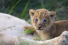 This lion cub has the sweetest face!