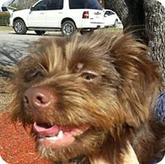 Spartanburg, SC - Boykin Spaniel. Meet Alicia, a dog for adoption. http://www.adoptapet.com/pet/17523446-spartanburg-south-carolina-boykin-spaniel