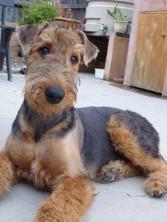 Bailey the airedale puppy