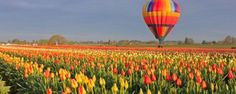 Our favorite time of year is when the tulips bloom! The Wooden Shoe Tulip Fest is an invitation from our family to yours to enjoy all things that make spring in the Northwest. Stroll through 40 acr…