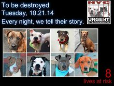 TO BE DESTROYED: 8 dogs to be euthanized by NYC ACC- TUES 10/21/14. This is a HIGH KILL shelter group. YOU may be the only hope for these pups! ****PLEASE SHARE EVERYWHERE!!To rescue a Death Row Dog, Please read this:  http://urgentpetsondeathrow.org/must-read/    To view the full album, please click here:    https://www.facebook.com/media/set/?set=a.611290788883804.1073741851.152876678058553&type=3