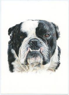 Bulldog Inglés. English Bulldog. Illustration pencil. Ilustración lápiz. Dog portrait Illustration, Dogs, English Bulldogs, Animales, Greyhounds, Art, Illustrations, Doggies, Dog